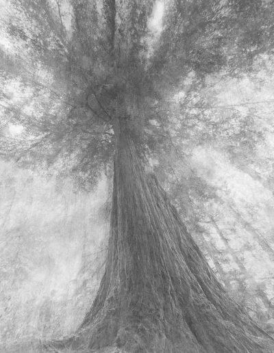 La sequoia di Martina_Biella