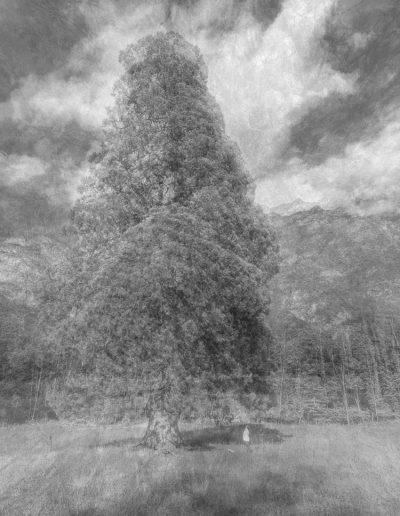 Sequoia gigante_Longarone