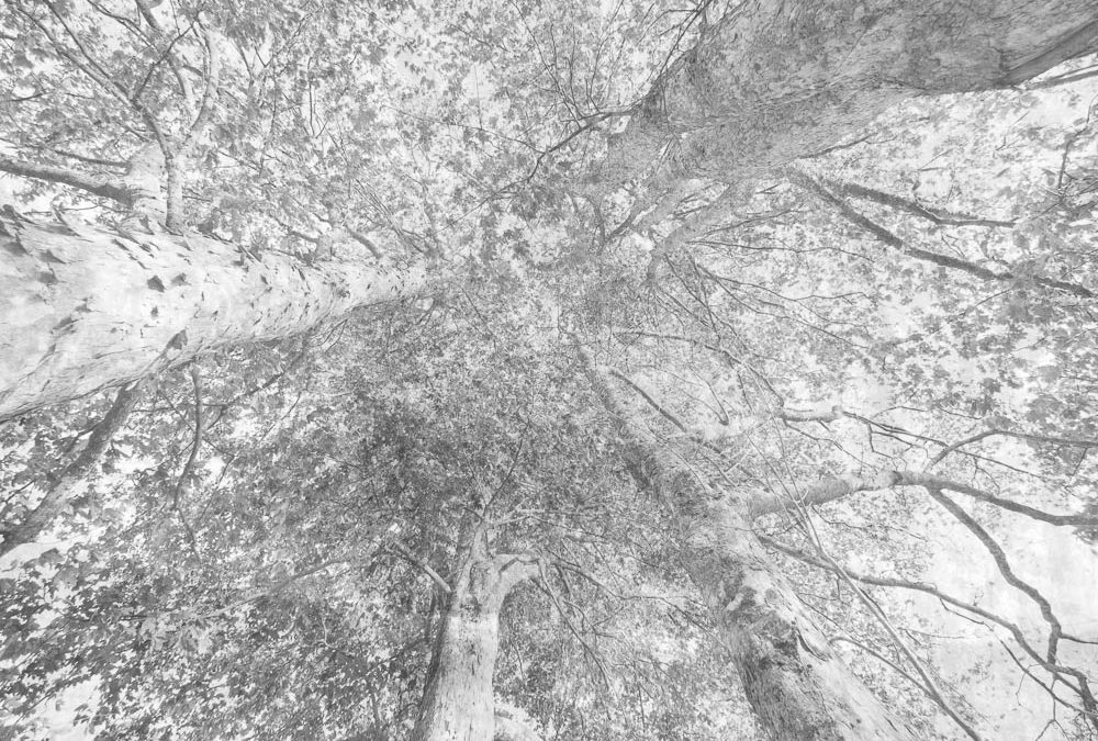 group of 5 trees seen from below